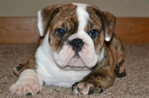 bulldog puppies for sale in indiana welcome to bruiser bulldogs