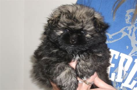 shih tzu pomeranian mix 7 surprising shih tzu puppies mix that best gift for your ones