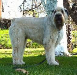 Diesel the bouvier des flandres standing outside in the grass with a