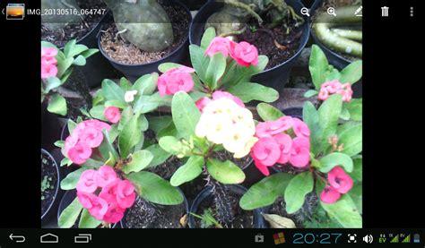 Bibit Euphorbia bibit buah tanaman hias gambar tanaman yang tahan panas