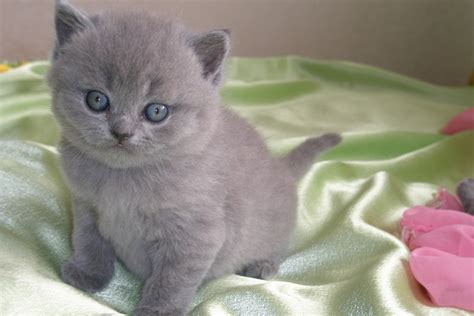 gray with blue fluffy grey cat with blue www imgkid the image kid has it