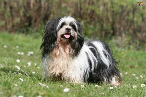 Lhasa Apso Shedding by Grooming Styles For The Lhasa Apso Pets4homes