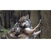 Wolves In Love  HD Wallpaper Download Wallpapers