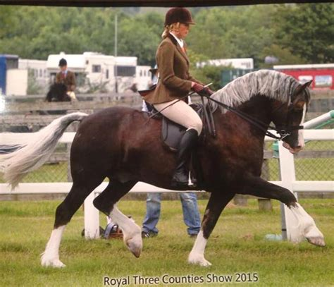 welsh section d society 25i nps baileys horse feeds mountain moorland ridden