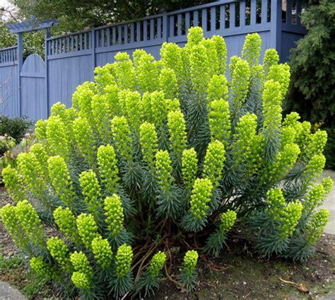 Basics Of Home Design Seattle Garden Ideas Euphoric Over Euphorbia