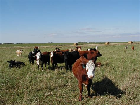 bloat treatment 9 tips for preventing pasture bloat in cattle lautner farms