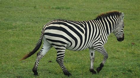 dnde estn los leones 8467563354 imagenes cebras finest lions are ferocious but zebras are prettier los leones son ms fieros