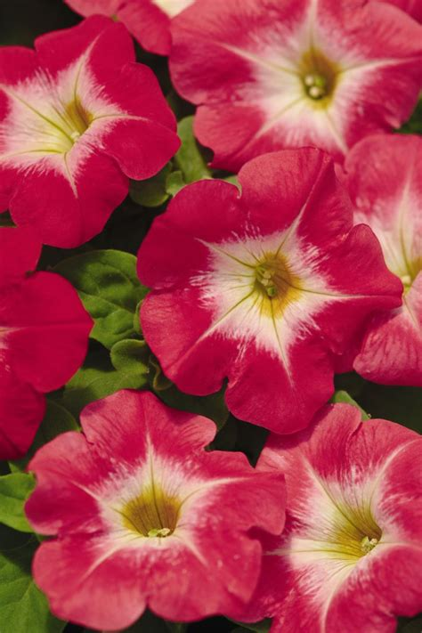 17 best images about petunia petunias on pinterest sun petunia flower and plants