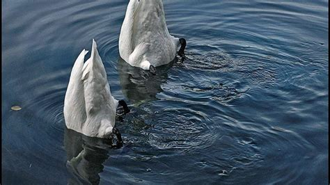 swan swimming swans trying synchronized swimming of science