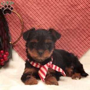 greenfield puppies yorkie poo yorkie poo puppies for sale yorkie poo breed info greenfield puppies