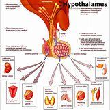 Hypothalamus   1500 x 1523 jpeg 918kB