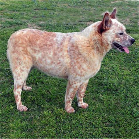 australian cattle puppies california heeler characteristics breeds picture