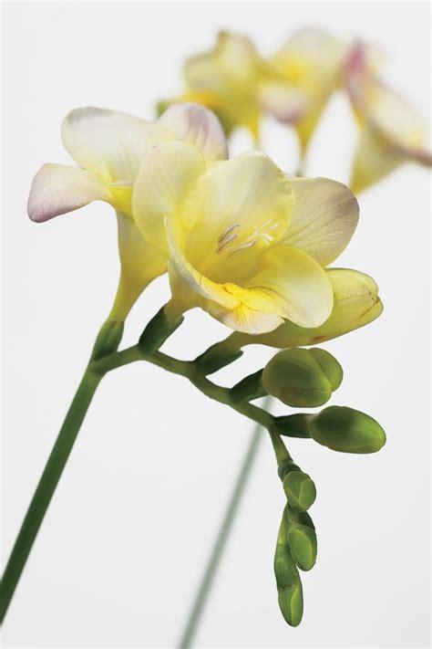 163 beautiful types of flowers a to z with pictures 11 besten freesien bilder auf pinterest hochzeitsblumen