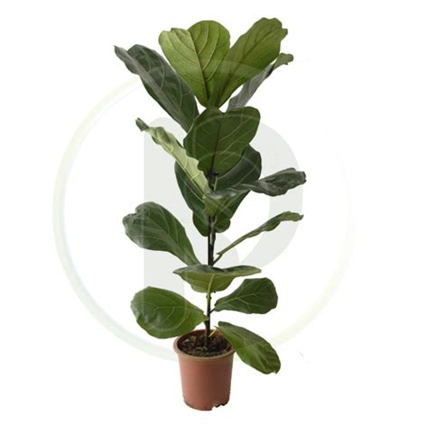 ficus lyrata related keywords ficus lyrata long tail keywords keywordsking