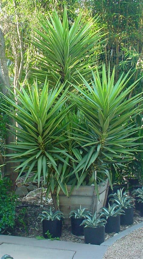 yucca aloifolia  garden landscaping succulent