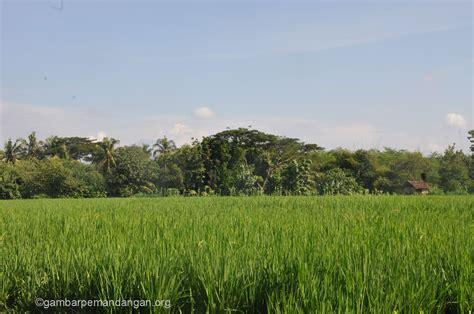 gambar pemandangan sawah padi image gallery photogyps