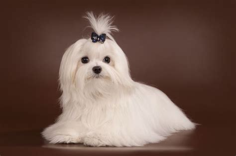 origin of dogs the origin of teacup maltese dogs how to care them