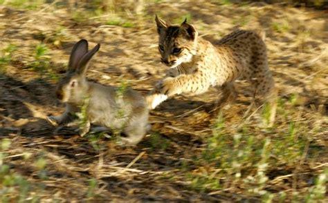 lince rojo fotos del lince rojo lince ib 233 rico el felino m 225 s amenazado del mundo fauna