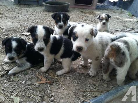 heeler puppies for sale blue heeler puppies for sale breeds picture
