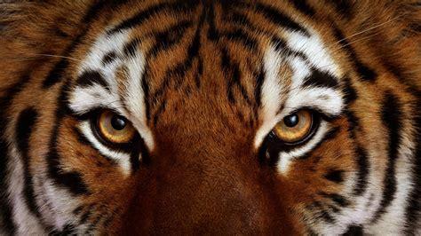 wallpaper tumblr tiger tiger face wallpapers wallpaper cave