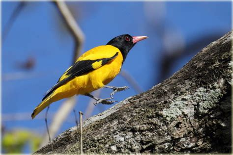 black hooded oriole photo john thompson photos at pbase com
