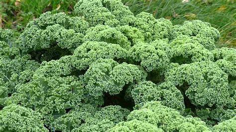 Brassica Oleracea Var Sabellica 3764 by Brassica Oleracea Var Sabellica Boerenkool