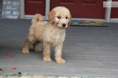 doodle puppies for sale ky labradoodle puppy for sale near louisville kentucky