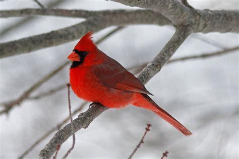 cardinal birds of a feather pinterest
