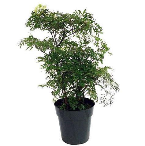 indoor bonsai kaufen ming aralia pre bonsai tree polyscias fruticosa indoor