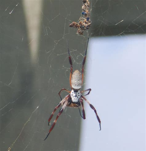 Garden Orb Spider Poisonous Spiders At Spiderzrule The Best Site In The World About