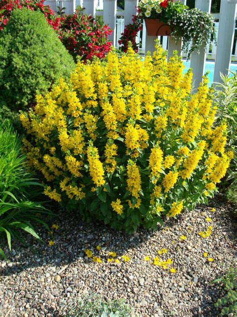 yellow flowering shrubs yellow shrub identification flowers forums