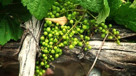 imagenes de como hacer uvas como hacer crecer una uva en parra youtube