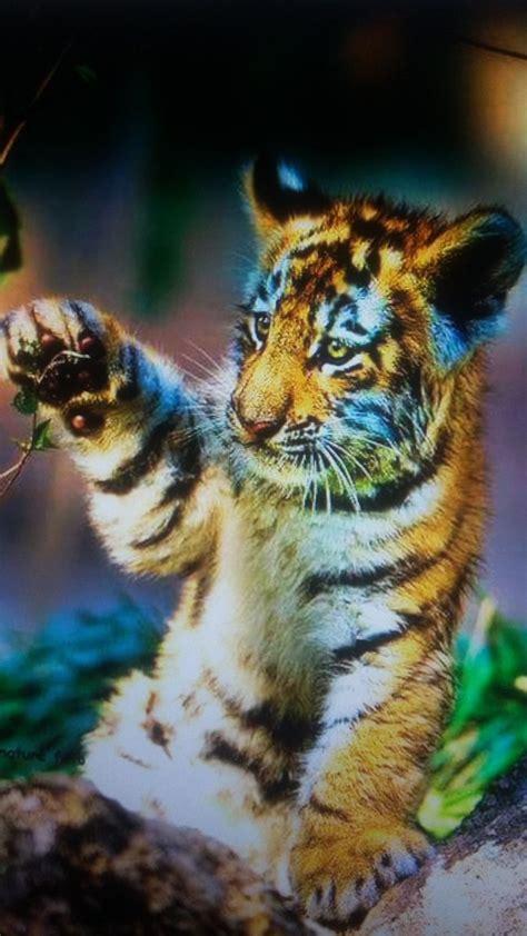 imagenes increibles twitter imagenes increibles on twitter quot hermoso tigre blanco