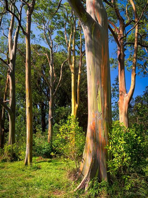 rainbow trees 25 unique rainbow eucalyptus tree ideas on