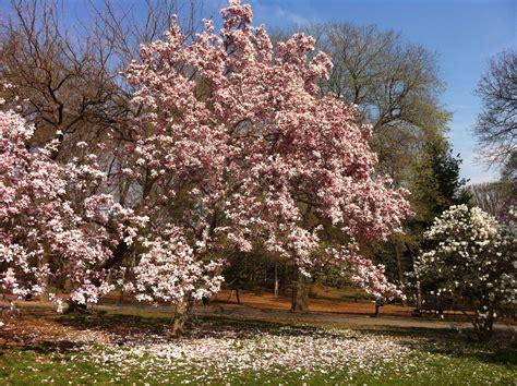 magnolia trees conquerthecity
