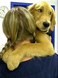 northern virginia golden retriever rescue 1000 images about golden retriever rescue on golden retriever rescue
