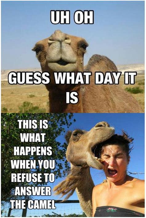 Camel Hump Day Meme - camel wednesday images with quotes quotesgram