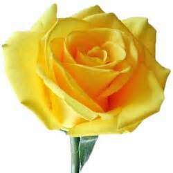 Meaning Of Different Flowers - yellow rose 1