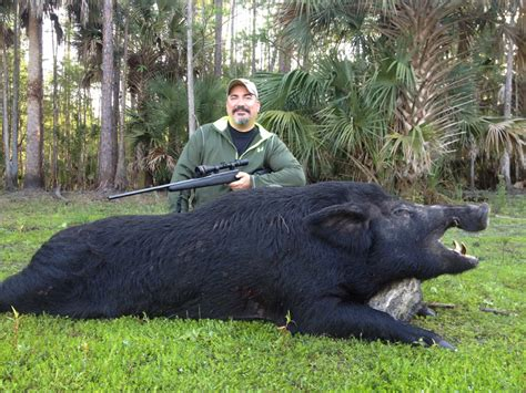how to your to hunt hogs florida hog outfitter hog trips in southern florida big boar hunts