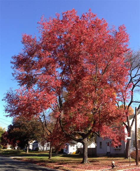 file 2014 10 30 11 09 40 maple during autumn on lower ferry road in ewing new jersey jpg
