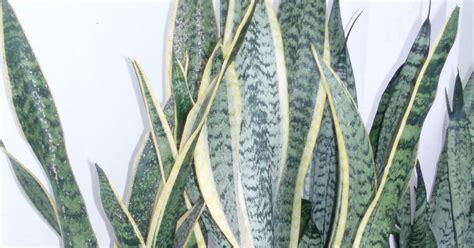Bibit Lidah Mertua lidah mertua jual tanaman hias