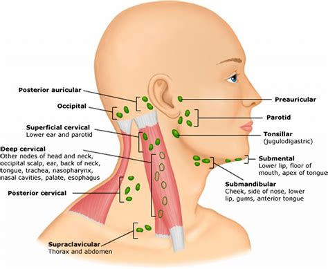 neck glands diagram lymph nodes back of diagram anatomy organ