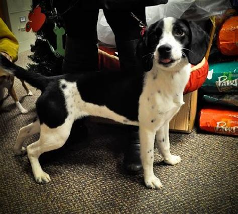 mountain feist puppies for sale mountain feist puppies for sale mountain feist dogs for adoption and breeds picture