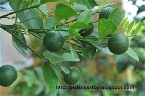 a fruit is most commonly kalamansi calamansi citrfortunella microcarpa calamansi