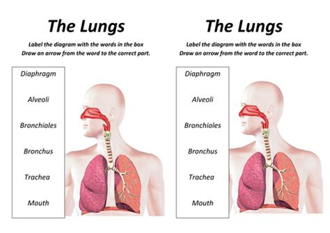 the system for part 4 doc lessons in betty neels happily after volume 4 books lungs lesson with worksheet by rcmcauley teaching