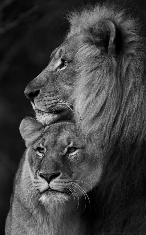 imagenes de leones blanco y negro image gallery leon blanco y negro