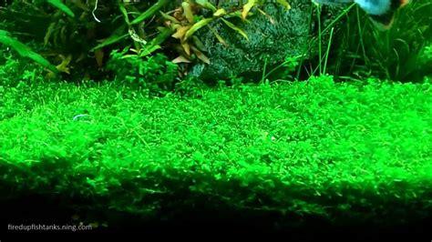 Scientific Name For Carpet Moss scientific name for carpet moss meze blog