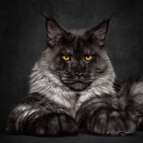 Beauty Of One Of The World?s Largest Domestic Cat Breeds