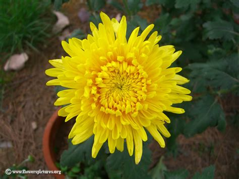 picture of yellow flower mum