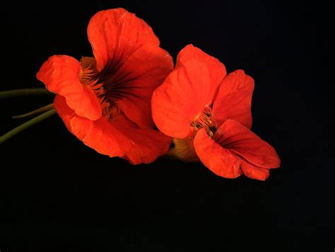 Blakc Reddish Flower S M L 44398 free stock photos rgbstock free stock images nasturtiums 2 xymonau december 08